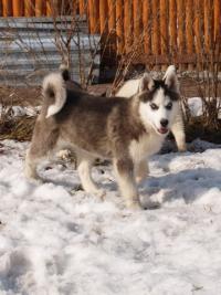 Щенок Сибирский Хаски (лайки), 4 месяца, кобель черно-белого окраса с...