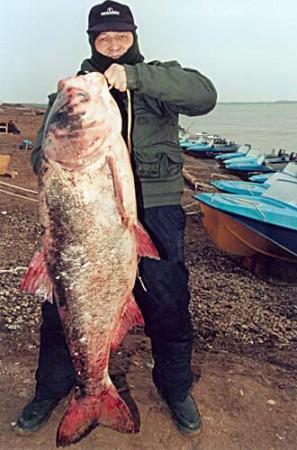 Толстолобик, вес - 36 кг.